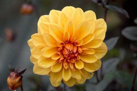 Yellow Orange Dahlia low res